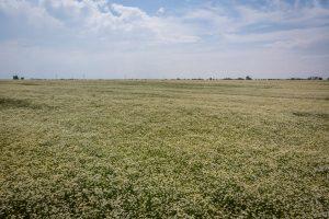 German_Chamomile_field_Bulgarian_Herb_bg_156008