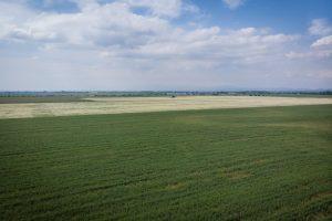 German_Chamomile_field_Bulgarian_Herb_bg_15650