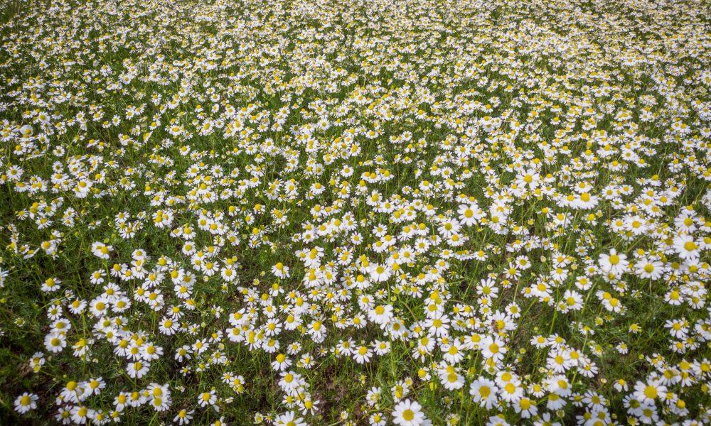 German_Chamomile_field_Bulgarian_Herb_bg_156