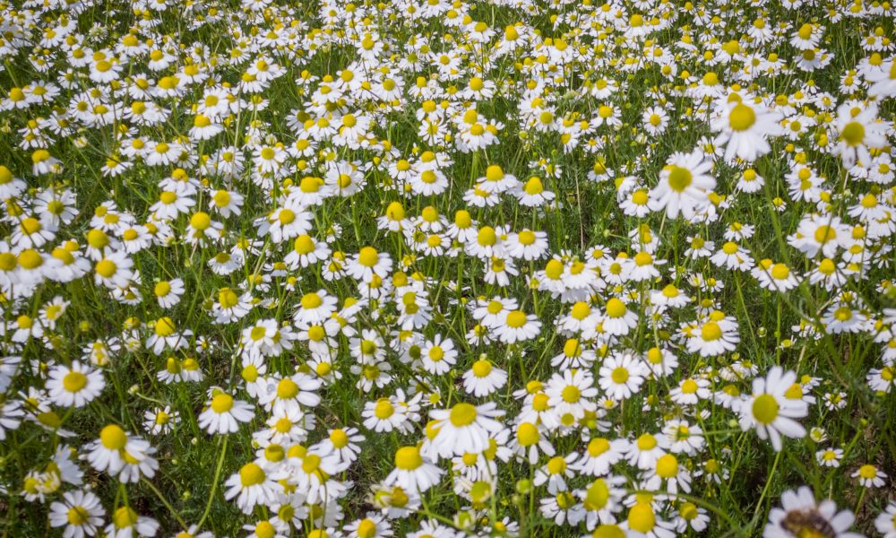 German_Chamomile_field_Bulgarian_Herb_bg_1