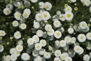 Roman_Chamomile_field_Bulgarian_Herb_bg_151