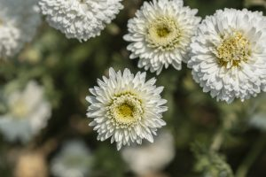 Roman_Chamomile_field_Bulgarian_Herb_bg_1