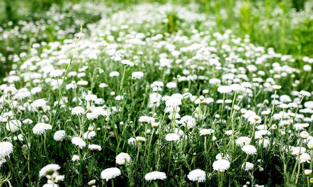 Roman_Chamomile_field_Bulgarian_Herb_bg_12_1224