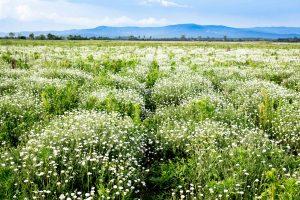 Chamomile_Field_Bulgarian_Herb_BG_24